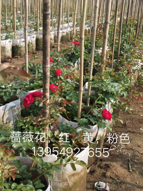 临沂市红色黄色粉色蔷薇花出售-价格-基地-供应商