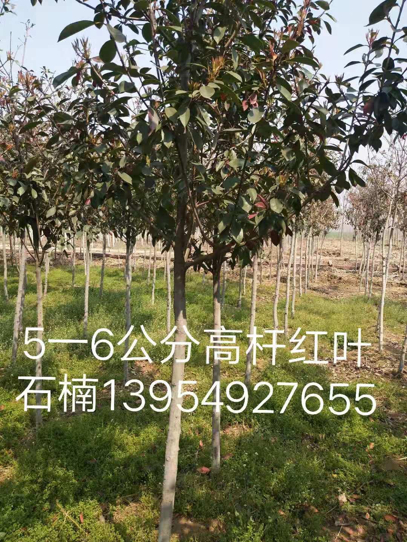 大量出售5-6公分高杆红叶石楠-基地-价格-报价