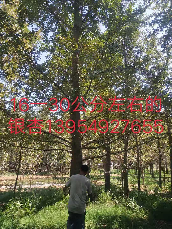 大量出售16-30公分银杏树-价格-供应商-基地-报价