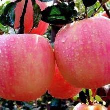 雞心果蘋果苗價格 山東蘋果樹苗 短枝蘋果樹苗 良種蘋果苗供應圖片