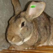大体比利时兔 种兔图片