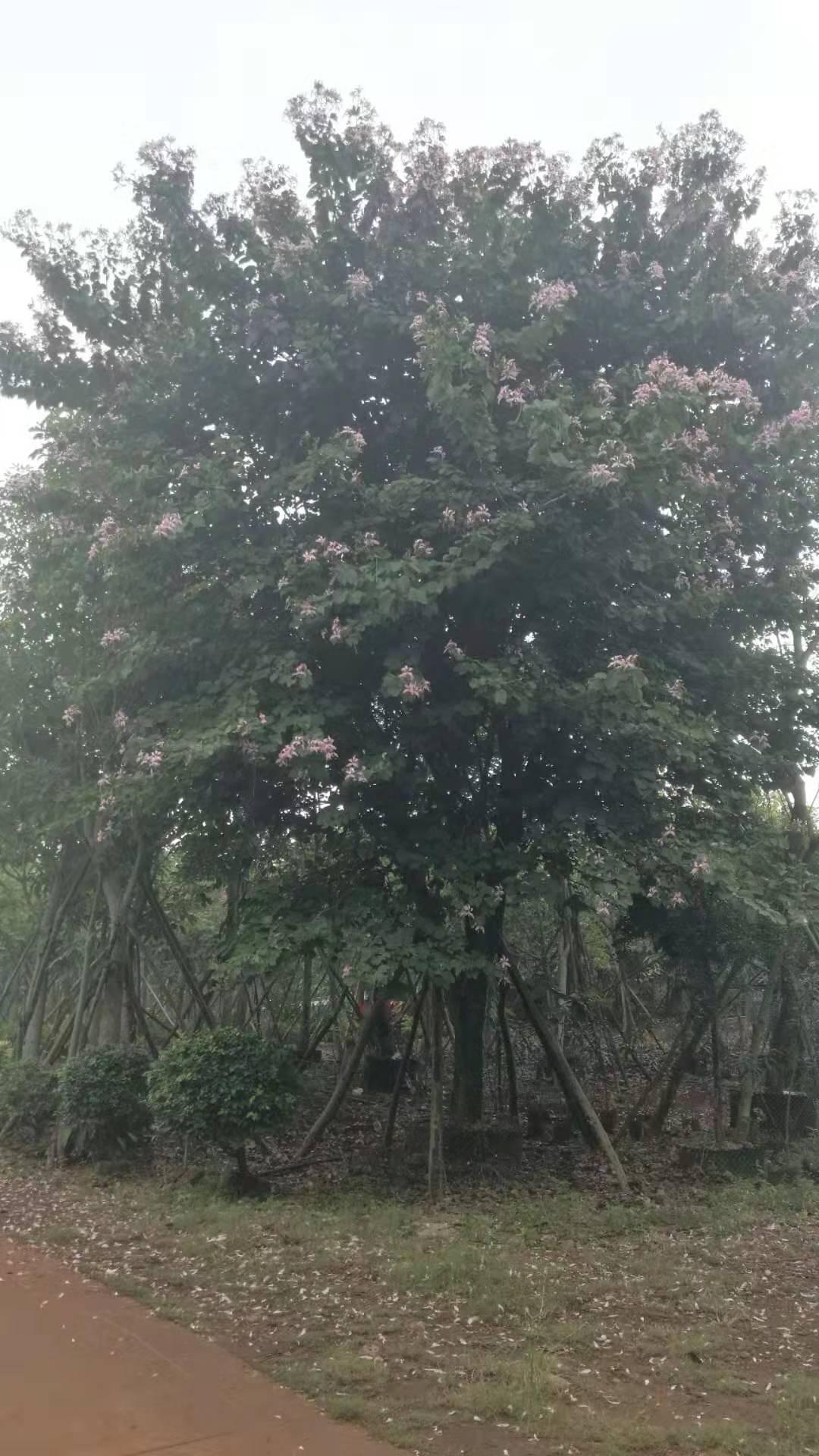 海南粉花羊蹄甲23一25公分种植基地 ,价格,批发价