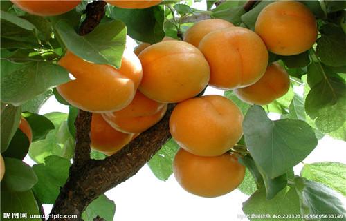 杏树苗凯特杏树苗
