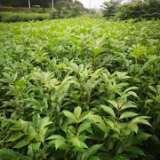 江西中花吴茱萸苗基地种植批发直销价格哪里有卖多少钱一颗