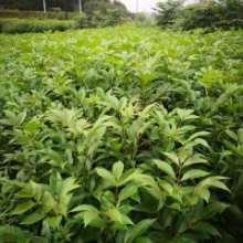 江西中花吴茱萸苗基地种植批发直销价格哪里有卖多少钱一颗批发