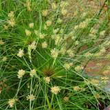 贵州纸莎草基地,贵州水生植物基地 批发,价格 主要用于庭园水景边缘种植,可以多株丛植、片植,单株成丛孤植景观效果也非常好