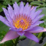 贵州睡莲基地,贵州水生植物基地 浮叶植物 批发,价格 江南一带名园,多设有欣赏睡莲风景的建筑