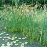 贵州水葱基地,贵州水生植物基地 挺水植物 批发,价格 观赏价值极高的挺水花卉,它株形美观洒脱,是水景绿化中的上品花卉