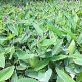 贵州再力花基地,贵州水生植物基地 挺水植物 批发,价格 观赏价值极高的挺水花卉,它株形美观洒脱,是水景绿化中的上品花卉