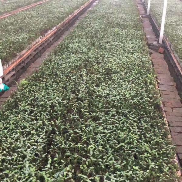 盐城市中山杉小苗价格-报价-专业种植-批发商-供应商