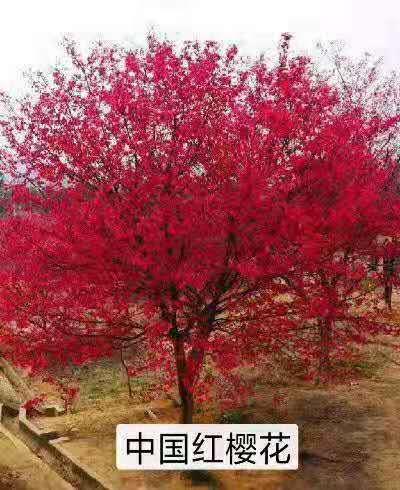 邳州市中国红樱花树苗种植基地 批发价格