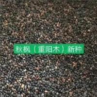 江苏南京重阳木种子种植基地报价批发
