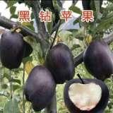 泰安市专业培育黑钻苹果苗基地-价格-优质-种植-批发-报价
