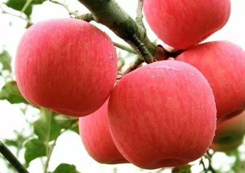 泰安市专业培育蜜脆苹果苗基地-价格-优质-种植-批发-报价