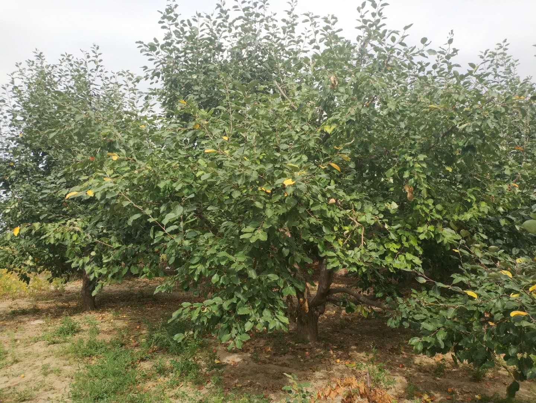 垂丝海棠苗圃批发、种植基地、报价