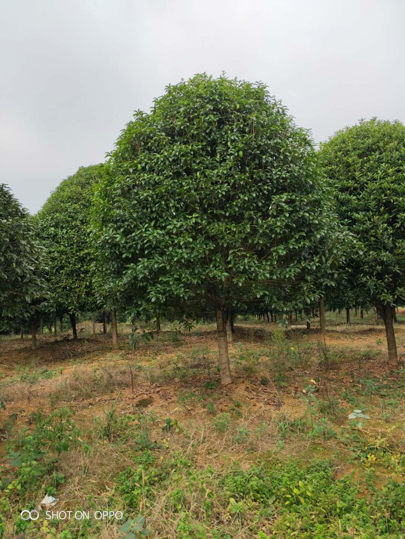 桂林桂花树生产基地-批发销售 精品桂花树