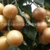 长期供应生产黑黄皮苗苗圃种植基地批发价格