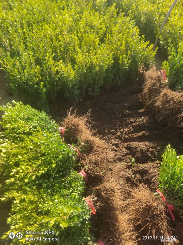 潍坊瓜子黄杨种植基地批发价格优质供应商