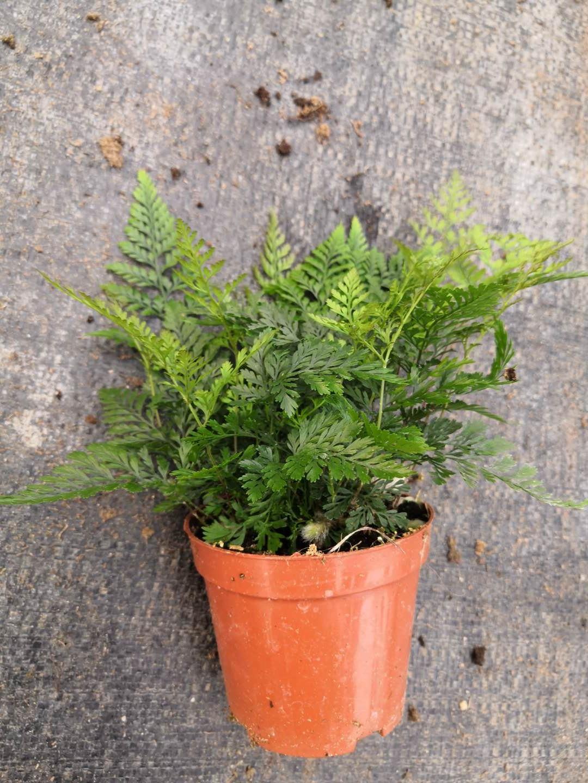 景观植物迷你蕨类狼尾盆栽  室内迷你狼尾盆栽  易打理生命力强精品狼尾盆栽