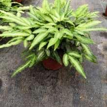 廠家直銷阿波線蕨小盆栽  可愛阿波線蕨小盆栽 凈化空氣阿波線蕨小盆栽圖片