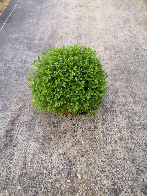 优质绿墙植物80盆绿地球  室内80盆绿地球小盆栽  耐养80盆绿地球小盆栽