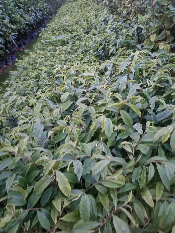 广州10公分高土沉香苗现货供应出售、种植方法【广州兄弟苗场】