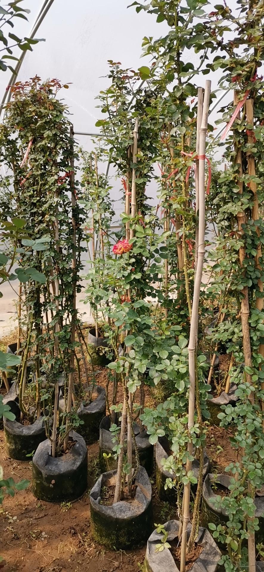 无锡市月季种植基地批发价格