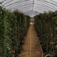 苏州市藤本欧月月季批发种植基地