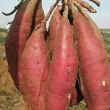 开封红薯苗商品型 开封红薯苗商品型西瓜红红薯苗图片