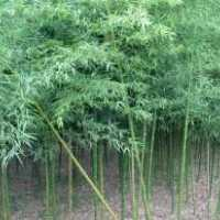 安徽滁州竹子1-5公分基地,批发,价格,哪里有卖?多少钱一棵?