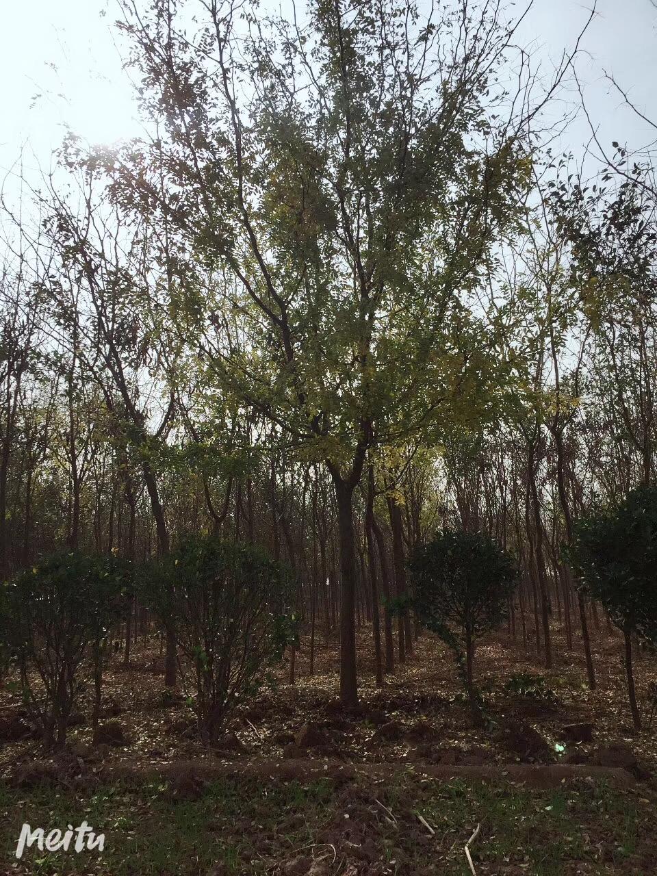 精品皂角树