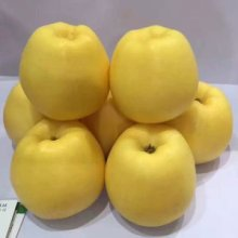 山东泰安维纳斯黄金苹果基地,2020年果苗批发,价格,哪里有卖?多少钱一颗