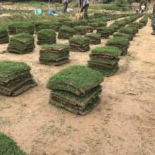 百慕大草坪種植基地 百慕大草皮 百慕大草卷 百慕大草皮訂購 百慕大草皮草卷圖片