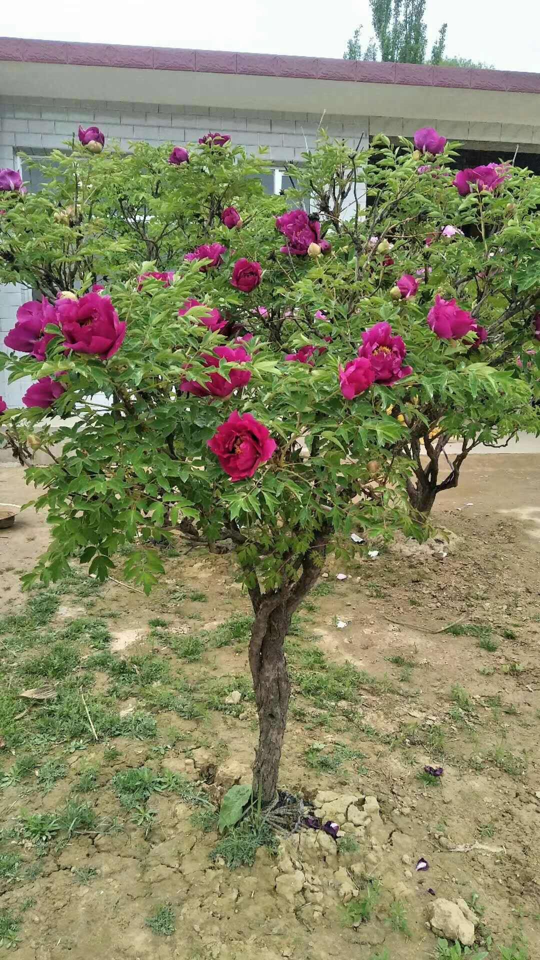上海观赏牡丹种植基地、批发多少钱、优质供应商【中华牡丹花木场】