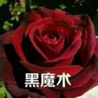 黑魔术玫瑰花厂家 黑魔术玫瑰花哪家好  云南黑魔术玫瑰花