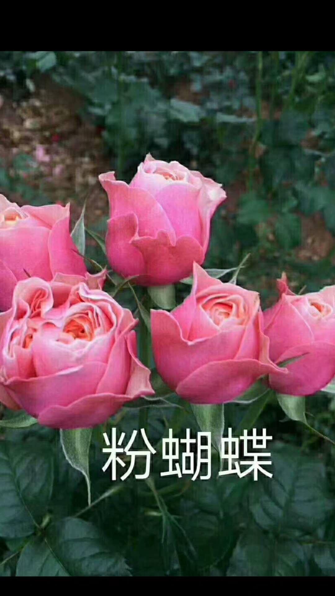 粉蝴蝶玫瑰花供应商  粉蝴蝶玫瑰花价格 云南粉蝴蝶玫瑰花