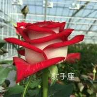 射手座玫瑰花价格  射手座玫瑰花厂家 云南射手座玫瑰花