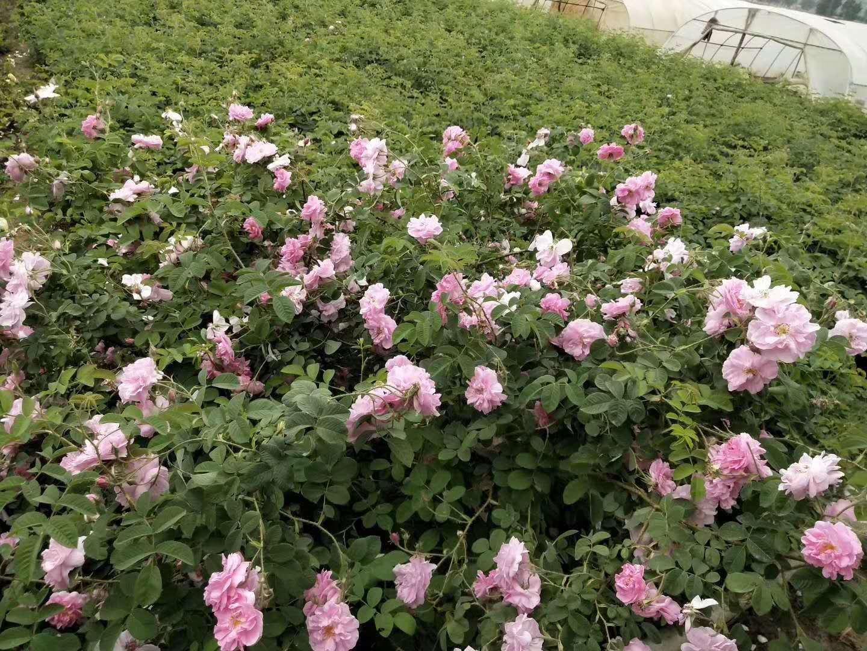 江苏大马士革玫瑰苗种植指导@基地@价格@供应商