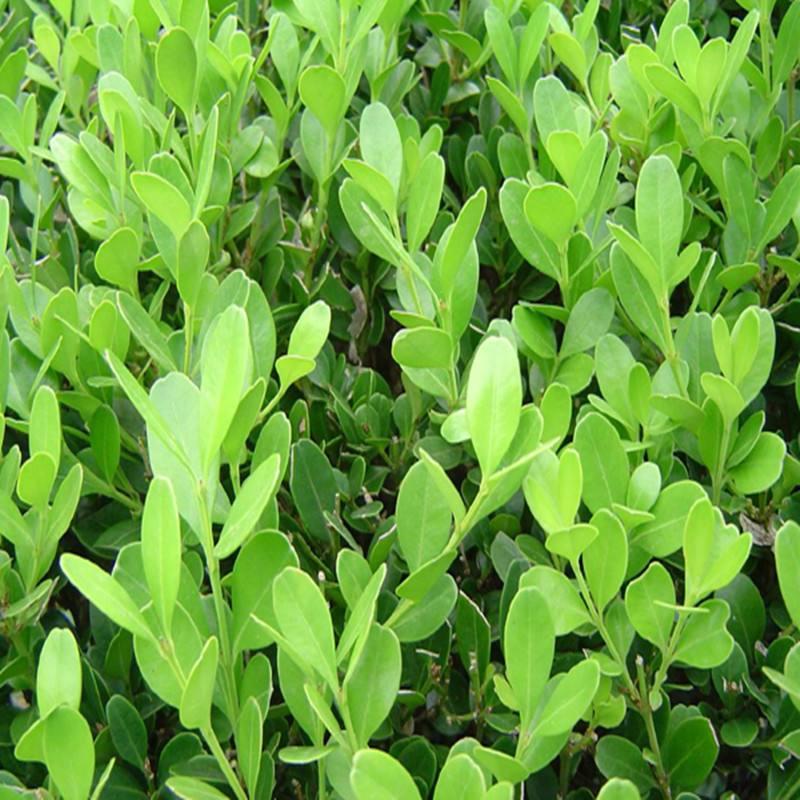 山东瓜子黄扬种植基地  青州瓜子黄批发价格