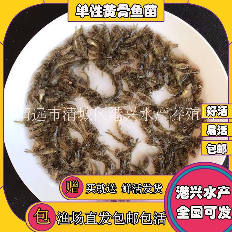 供应全雄黄颡鱼苗广东清远黄颡鱼苗销售
