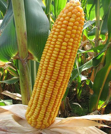 隆平702 蒙审玉米极早熟品种销售