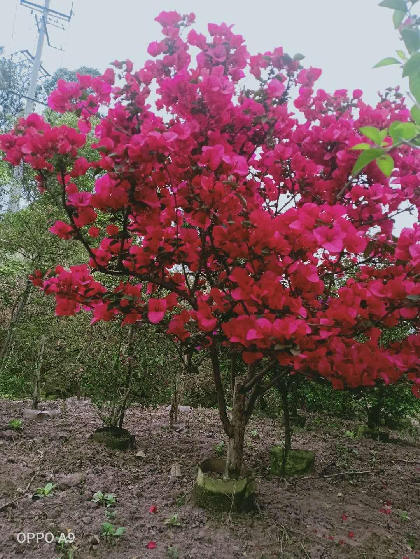 红色三角梅 中国红三角梅(四川信诚艺景苗圃)