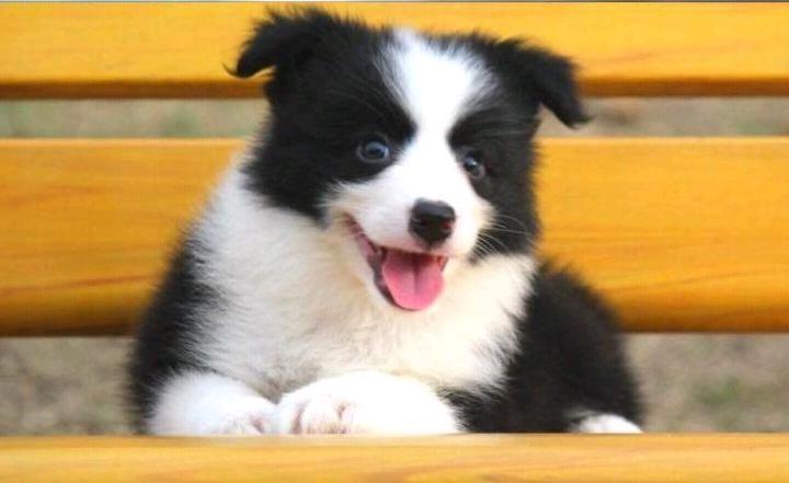 边境牧羊犬 幼犬纯种宠物狗狗  山东养殖