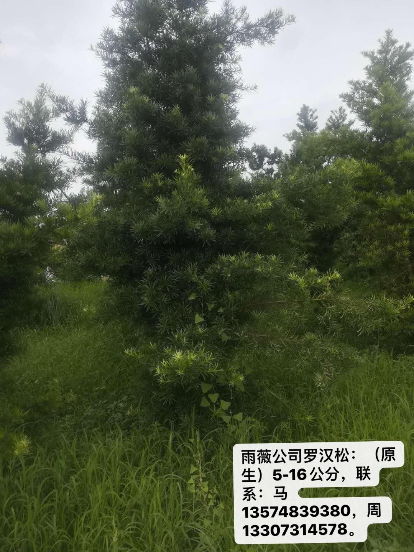 罗汉松供应价格、产地直销、报价【湖南雨薇工程有限公司】