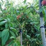 长沙桃苗种植基地、价格、电话、批发【艺彩园林】
