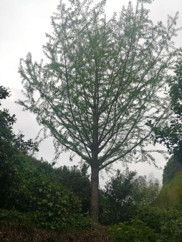 贵州银杏树种植基地-批发-价格-大量供应