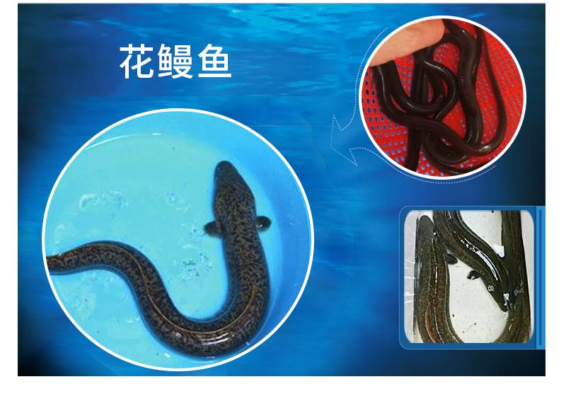 花鳗鱼养殖@价格@电话 花鳗鱼