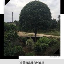 湖南丛生桂花树价格-好货不等人-精品桂花柱子-丛生桂花树全年优惠来宏景轩图片