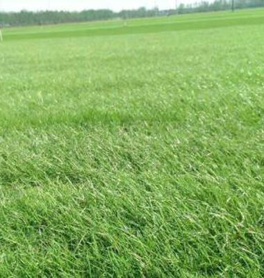 混播黑麦草图片/混播黑麦草样板图 (2)