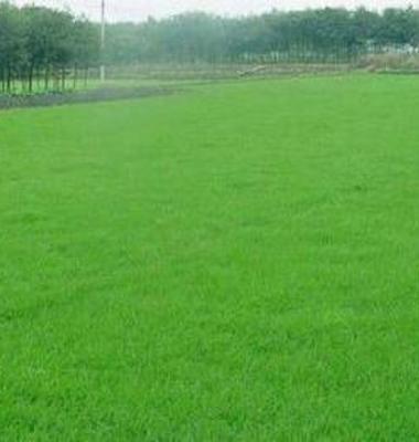 黑麦草草坪图片/黑麦草草坪样板图 (4)